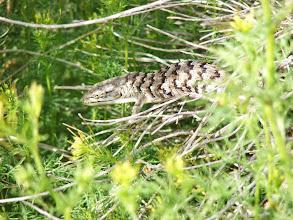 Photo: Alligator Lizard - A. Jones