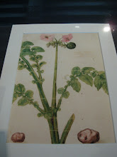 Photo: Reproduction of the oldest known picture of a potato plant.