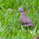 Zebra Dove (Barred Ground Dove)