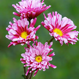 Daisy Bunch by Jim Downey - Flowers Flowers in the Wild ( red, pink, green, yellow, purple )
