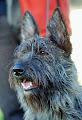 Photo: 2008 Bellisa de la Jassette du cap del Mas (Uzak d'Ered Luin x Tao de la Jassette du Cap d'el Mas) à Isabelle Alves loucapdelmas2@wanadoo.fr