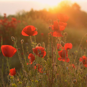 summer vibe by Rux Georgescu - Flowers Flowers in the Wild ( red flower, poppy flower, summer, poppies, poppy, poppy fields )