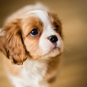 Sonny by Mike Woodford - Animals - Dogs Puppies ( fluffy, irresistable, spaniel, puppy, dog, cute, eye,  )