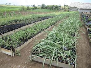 Photo: Sustainable Sugarcane Initiative (Sistema de Caña de Azúcar Sostenible - SiCAS) Material for transplanting [Photo by Rena Perez]
