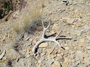 Photo: The first shed antler I've found in Nine Mile