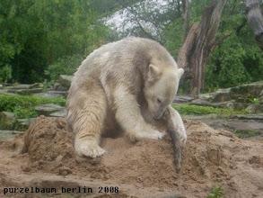 Photo: Den Ast muss Knut erst einmal untersuchen ;-)
