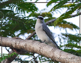 Photo: White-bellied cuckooshrike - Coracina papuensis © NF Photo 140907 at Cassowary House, Queensland, Australia http://nfaubird.blogspot.se/2014/12/white-bellied-cuckooshrike-coracina.html