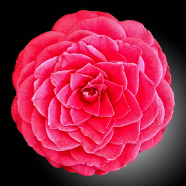 WI camellia 01 by Michael Moore - Flowers Single Flower (  )