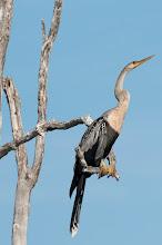 Photo: Anhinga (Amerikanischer Schlangenhalsvogel); Rio Lagartos, YUC