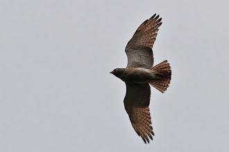 Photo: Rufous-winged Buzzard