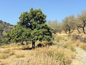 Photo: Chestnut and Almond Trees