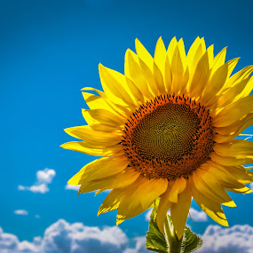sunshine by Sunil Pawar - Flowers Single Flower ( clouds, green, beautiful, sunflower, beauty, travel, yellow sky, spring, macro, blue, summer, sun light, sunshine, sunrise, flowers, flower,  )