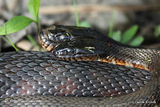 Photo: Love is in the air for Northern water snakes