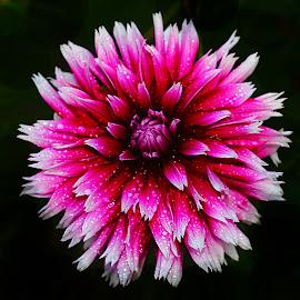 Dalhia n000137 by Gérard CHATENET - Flowers Single Flower