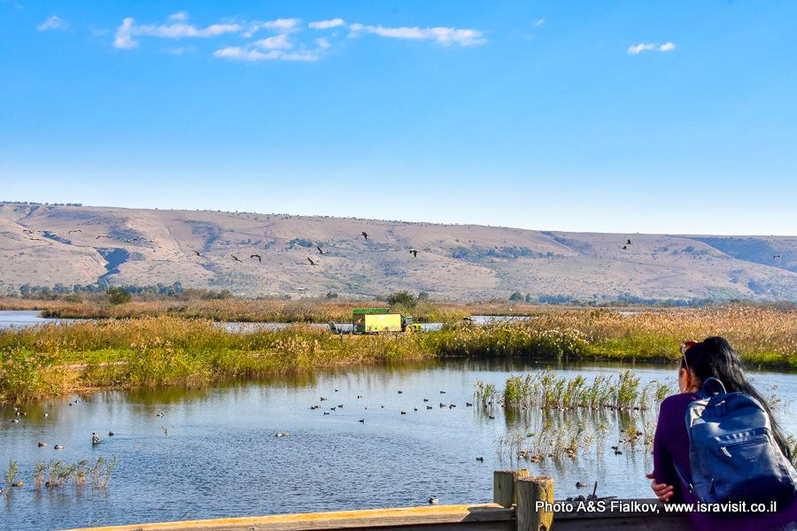 Экскурсия в Израиле в заповедник птиц на озере Хула.