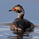 Horned Grebe (Breeding Adult)