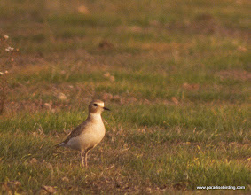 Photo: Mountain Plover overwintering in Solano County