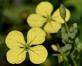 Photo: Brassicacea (crucifera)