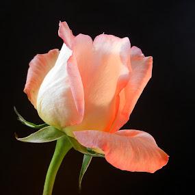 Opening Orange Rose by Kathy Rose Willis - Flowers Single Flower ( rose, orange, single, flower, black,  )