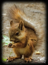 Photo: Lil Red Squirrel  For #squirrelsaturday curated by +SE Blackwell and +Skippy Sheeskin
