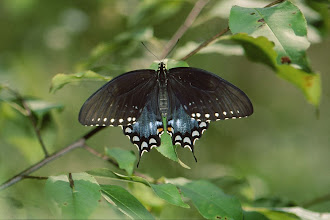 Photo: 38 Spicebush Swallowtail butterfly (Papilio troilus)