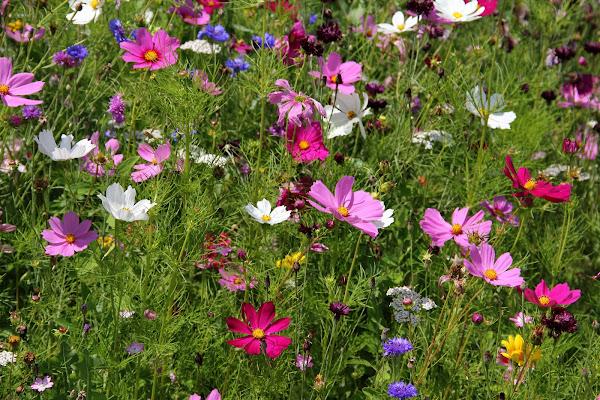 Primavera in rosa di Burghy