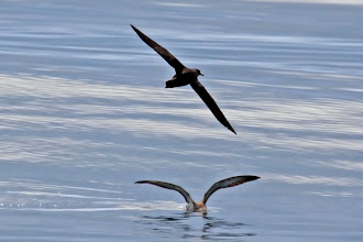Photo: Sooty Shearwater