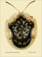 Photo: Microtenochira flavonotata, 4,7mm, Costa Rica, Playa Zancudo (08°21´/-83°08´), leg. Erwin Holzer, det. Lech Borowiec