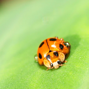 Ladybird by Azira Ahmad - Animals Insects & Spiders ( olympus close up bug advertisement female ladybird )