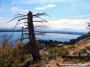 Photo: Dead pine overlooking Jenny Lake