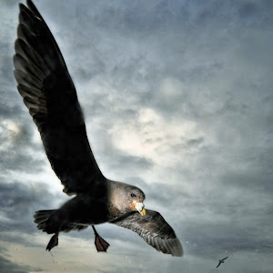 Max Seigal Storm Petrel.jpg