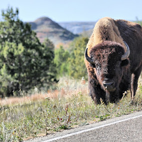 Tatanka by Stacy Swenson - Animals Other Mammals ( buffalo, bison, theodore roosevelt national park, outdoors )