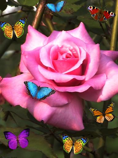 玫瑰,动态壁纸