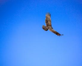 Photo: In Flight -- Turkey Vulture in Great Falls Park, VA