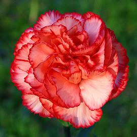 Another Carnation by Chrissie Barrow - Flowers Single Flower ( spray, single, petals, carnation, salmon pink, bokeh, flower, miniature,  )