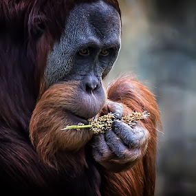 checking the food by Gary Parnell - Animals Other Mammals ( orangutan )