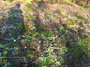 Photo: 鹿さんはダイコンがお気に入り♪ 廻りには柵のない大根畑は沢山ありますが、柵を超えてまで食べに来てくれます。
