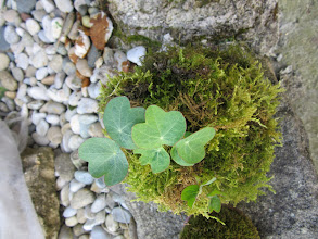 Photo: Même plante capucine