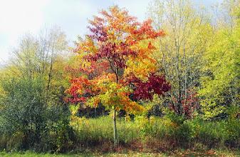 Photo: Magic sassafras tree, Autumn 2013