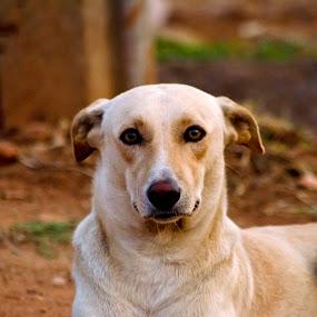 Am I looking good by Manjunath Nagesha Rao - Animals - Dogs Portraits
