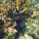 Coral de lechuga