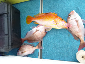 "Photo: 真鯛3匹とアカイサキ! あっぱれ""タムラさん""!"