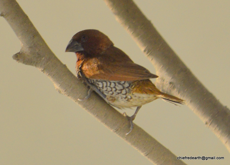 scaly-breasted munia or spotted munia