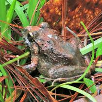 Anfibios, reptiles y mamíferos de Reserva Biológica Uyuca, Honduras, Centro América.