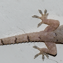 Tropical House Gecko / Lagartixa-Doméstica-Tropical