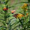 Monarch Butterfly and Praying Mantis (Danaus Gilippus and Stagmomantis limbata)