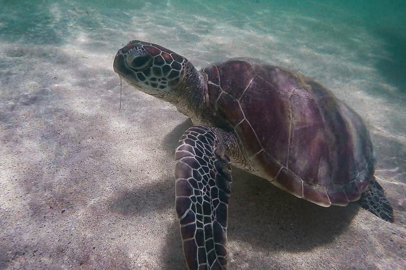 Monty, the turtle found swimming off the coast of Ilot Maitre beach in New Caledonia.