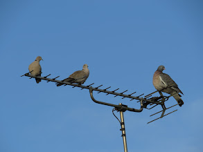 Photo: 30 Jun 13 Priorslee Flash: Doves on the left; pigeon on the right. Generally doves (represented here by Collared Doves) are smaller and neater than pigeons (here a Wood Pigeon). Stock Dove is an exception or misnamed as it is almost Wood Pigeon-sized. (Ed Wilson)