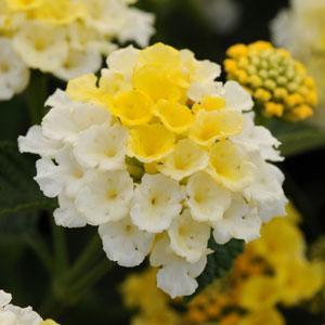 Image result for Lantana lucky yellow