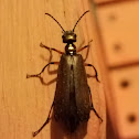 Bronzed Blister Beetle